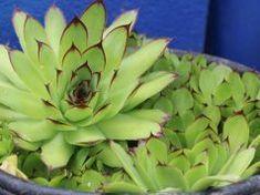 Csodát tesz veled a kövirózsa! Így gyógyítsd magad a magyar Aloe Verával!