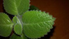 Rýmovník- populární téma posledních dnů - Čarovná lékárna kolem nás Ale, Plant Leaves, Strawberry, Fruit, Plants, Food, Syrup, Ale Beer, Essen