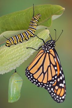 The entire lifecycle of the Monarch butterfly from a tiny caterpillar hatching from an egg on a Milkweed leaf through metamorphosis to become a glorious adult Beautiful Bugs, Beautiful Butterflies, Beautiful Things, Beautiful Pictures, Monarch Caterpillar, Caterpillar Tattoo, Petit Tattoo, Butterfly Life Cycle, Butterfly Stages