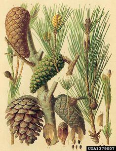 aleppo pine - Pinus halepensis P. Mill.