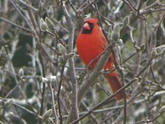 #Bird #Cardinal Gastonia, NC by: Christy Rivers