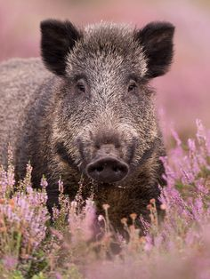 Boar ❤️ animal photography pictures and photos / pigs