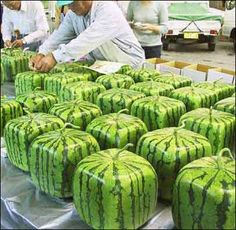 If you put a growing watermelon in a square container, it will grow into a square shape. -- going to have to try this -- just cause