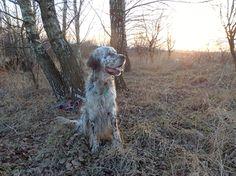 My belowed English Setter dog BEN :) by Canis Art Studio.  #dog #englishsetter #gundogs #pet #petlover #canisartstudio