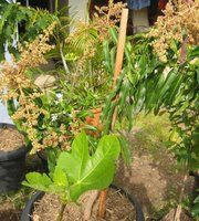 Daleys Fruit Tree: How To Grow A Mango Tree in A Pot
