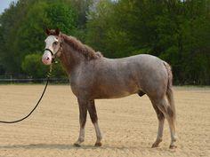 Wallache - Riverside Curly Horse Ranch - Europa's größte Curly Zucht
