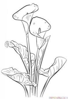 Calla Lily Coloring page from Lilies category. Select from 20946 printable craft… Calla Lily Coloring page from Lilies category. Select from 20946 printable crafts of cartoons, nature, animals, Bible and many more. Flower Sketches, Drawing Sketches, Art Drawings, Sketching, Plant Drawing, Painting & Drawing, Pencil Painting, Beautiful Flower Drawings, Drawing Flowers