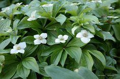 Witte Vaste Planten.271 Beste Afbeeldingen Van Vaste Planten In 2019 Vaste Planten