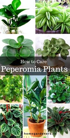 Peperomia Plant - How Did Radiator Plants Become the Best? Find Out.