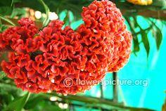 Flower 250 Seeds Large Packet Celosia cristata Amigo Mix