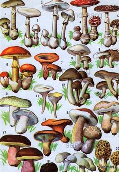 Vintage French  Champignons Chart of Poisonous and Edible  Mushrooms to Frame Night Sky Stars Le Ciel. $14.99, via Etsy.