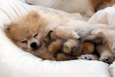 35 Sleeping Puppies Who Physically Can't Handle Their Own Cuteness - Cute Little Pomeranian Puppy with its Little Friend