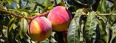 Potare gli alberi da frutto  Tra luglio e agosto si deve procedere a una leggera potatura su pesco, ciliegio, kiwi e piccoli agrumi: serve a fare ingrossare i frutti presenti, a migliorare la produzione successiva. http://www.cosedicasa.com/potare-gli-alberi-da-frutto-18249/