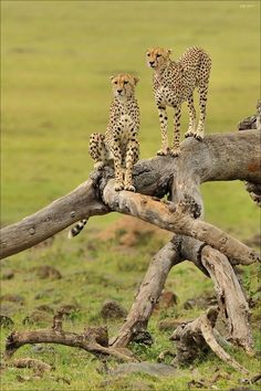I have a travel picture very similar - do you think these are paid models?  Cheetahs