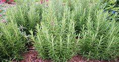 Nature's Remedy for Dementia - Rosemary - You probably already have this in your home... let us know if you try it!