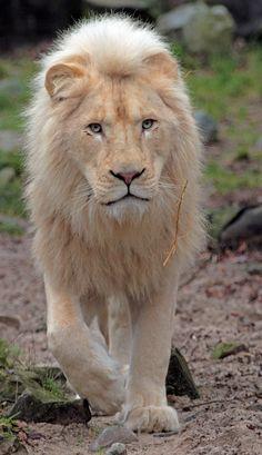 https://flic.kr/p/dFcSqt   white lion Rhenen IMG_1527