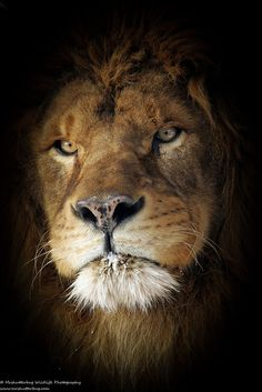 Lion King by MrShutterbug Jonathan Griffiths on 500px