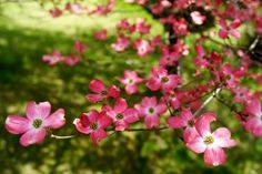 Dogwood trees are beautiful, so beautiful we'd like to have a picture. Come and take a look at all of our beautiful dogwood pictures!
