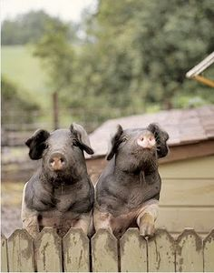 piggies: Reminds me of my friends pet pig from high school, but lawrd she got much much fatter!!!!!