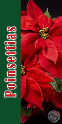 Poinsettias Design 6 - 1.5' x 3' Perfect for retail stores, small businesses, churches, garden centers and more! Great hanging banner size! Advertise when your holiday poinsettia selections have arrived. Customization on design and size available upon request at no additional charge. Message @SignedandZealed or visit www.signedandzealed.com for more information.