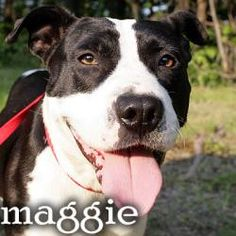 maggie is an adoptable Pit Bull Terrier Dog in Stamford, CT. In late June, 2012, Heather from WV emailed us that there was the SWEETEST little preggers girl at the kill-pound -- and that they could eu...