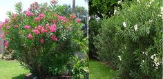 Oleander (Nerium Oleander)- Zone 8-10 (May get frost damage on leaves.)Part-Full Sun. 6'-12' Height/Width. Fast growing evergreen shrub with pink/white fragrant blooms in summer thru fall. Dry to moist, average, well-drained soil. Medium salt tolerance. Drought & Humidity tolerant. One of the easiest to grow Florida shrubs. Toxic in all its parts. Propagate by cuttings in summer. Cuttings, Propagation, Landscaping Plants, Landscaping Ideas, Fast Growing Evergreens, Florida Plants, Nerium, Evergreen Shrubs, Lawns