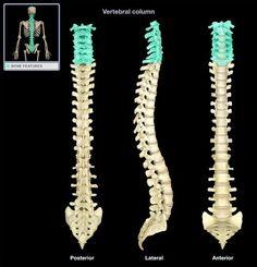 bones and bone markings: the axial skeleton flashcards | quizlet, Skeleton