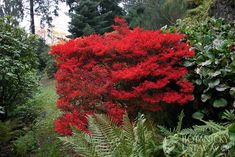 Enkianthus perulatus, exceptional scarlet/orange fall color. zone 6a-9b