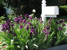 landscaping a mailbox | img 0147 300x225 Mailbox Garden Idea #3: A Simple Iris Bed for Color ...