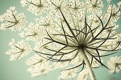 Queen Annes Lace Photograph, Shabby Chic Pastel  Flower Photography, White  Turquoise Wall Decor, Nature Photography, Still Life. $25.00, via Etsy.
