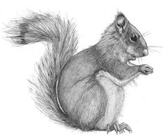Pencil Drawing Design Squirrel Pencil Drawings - Pencil drawing of a squirrel Realistic Animal Drawings, Pencil Drawings Of Animals, Bird Drawings, Art Drawings Sketches, Squirrel Tattoo, Squirrel Art, Nature Sketches Pencil, Animal Sketches, Squirrel Pictures