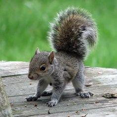 baby grey squirrel