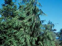 Leyland Cypress Tree.  These trees turn a dark-blue hue as they mature.