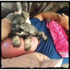 "257 Likes, 17 Comments - Maya & Chloe (@schnauzer.shenanigans) on Instagram: ""My human! Get your own! #mayathemini, #miniatureschnauzers, #miniatureschnauzersofinstagram,…"", #minischnauzerpuppy, #minischnauzer"