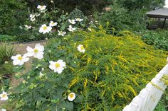Anemone 'Honorine Jobert' with Solidago rugosa 'Fireworks'; by Lisa at Greenbow