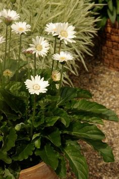 Drackensberg Daisy 'White'--- Bred by crossing a tough little wild species of  gerbera from the snowy mountains in South Africa,  this excellent series of incredibly disease resistant,  high-performance DRAKENSBERG™ daisies with  rosettes of leaves produces a profusion of mediumsized  flowers on sturdy stems from spring until late  autumn. They thrive in summer heat and humidity  even in the Deep South. Great in landscapes and  containers. Hardy Zones 8-11.