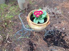 My primroses