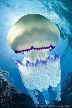 Barrel jelly fish - it can probably kill me, but it's still pretty
