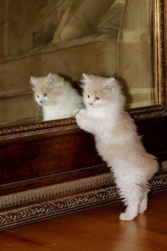 best adorable manx cat & kitten images ideas - most affectionate cat breeds Manx Kittens, Cute Cats And Kittens, I Love Cats, Cool Cats, Kittens Cutest, Manx Cat, Animal Gato, Mundo Animal, Pretty Cats
