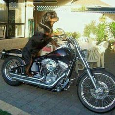 Even better picture of the Rottweiler and the motorcycle!   LOVE IT!