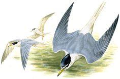 コアジサシ|日本の鳥百科|サントリーの愛鳥活動