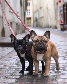 French bulldog and Pug clothes clothes French Bulldog Clothes, Cute French Bulldog, French Bulldog Puppies, Miniature French Bulldog, Cute Puppies, Cute Dogs, Dogs And Puppies, Doggies, Cãezinhos Bulldog