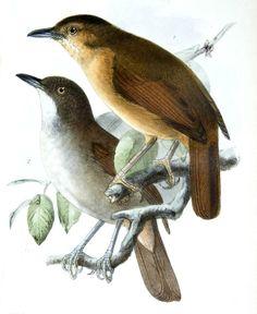 Akalat des Célèbes - Trichastoma celebense