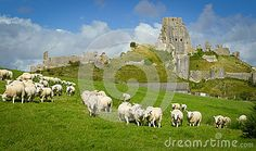 A wide view of Corfe Castle in Dorset in the UK, surrounded by fields with sheep grazing..
