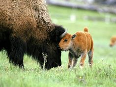 Bison cows give birth after nine months and nurse their calves for about a year. Calves are able to stand shortly after birth, but remain vulnerable to wolves and bears until they reach maturity at the age of about three years.