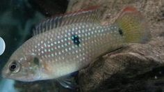 ... Items For Sale on Pinterest Tropical Fish, Marine Fish and Cichlids