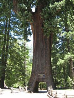Chandelier Tree is a 315 foot (96 metre) tall redwood tree in California. The hole in its base, which 6 foot (1.83m) wide by 9 foot (2.74m) high, allows a car to drive through. The hole was carved in the 1930s. The Chandelier Tree derives it's name from the enormous branches balanced on either side of the trunk.