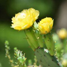 Opuntia species in flower (prickly pear cactus)