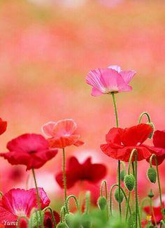 Pretty poppies bloom through the gloom My Flower, Wild Flowers, Beautiful Flowers, Poppy Flowers, Summer Flowers, Plantation, Dream Garden, Planting Flowers, Bloom