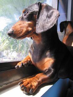 Is Your Dachshund Driving You Crazy? Make Massive Change To Your Dachshund´s Behaviour in Just 1 Day! Weenie Dogs, Dachshund Puppies, Dachshund Love, Cute Puppies, Cute Dogs, Dogs And Puppies, Daschund, Doggies, Dapple Dachshund